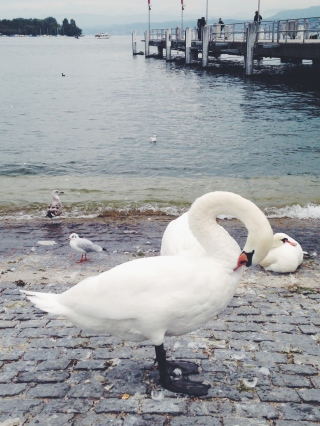 Swans in Zurich | Scones in the Sky